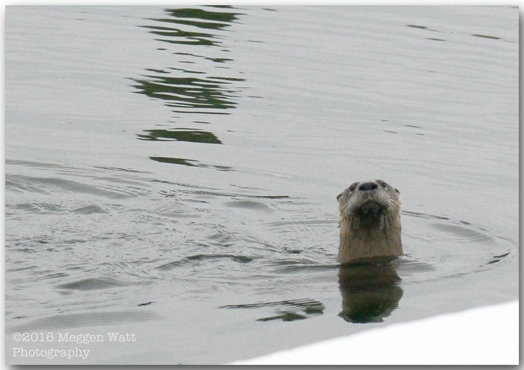 An Otter Monday MWP 0296