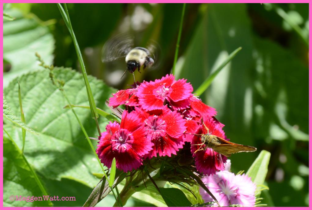 DSC 2179-bee Sweet William