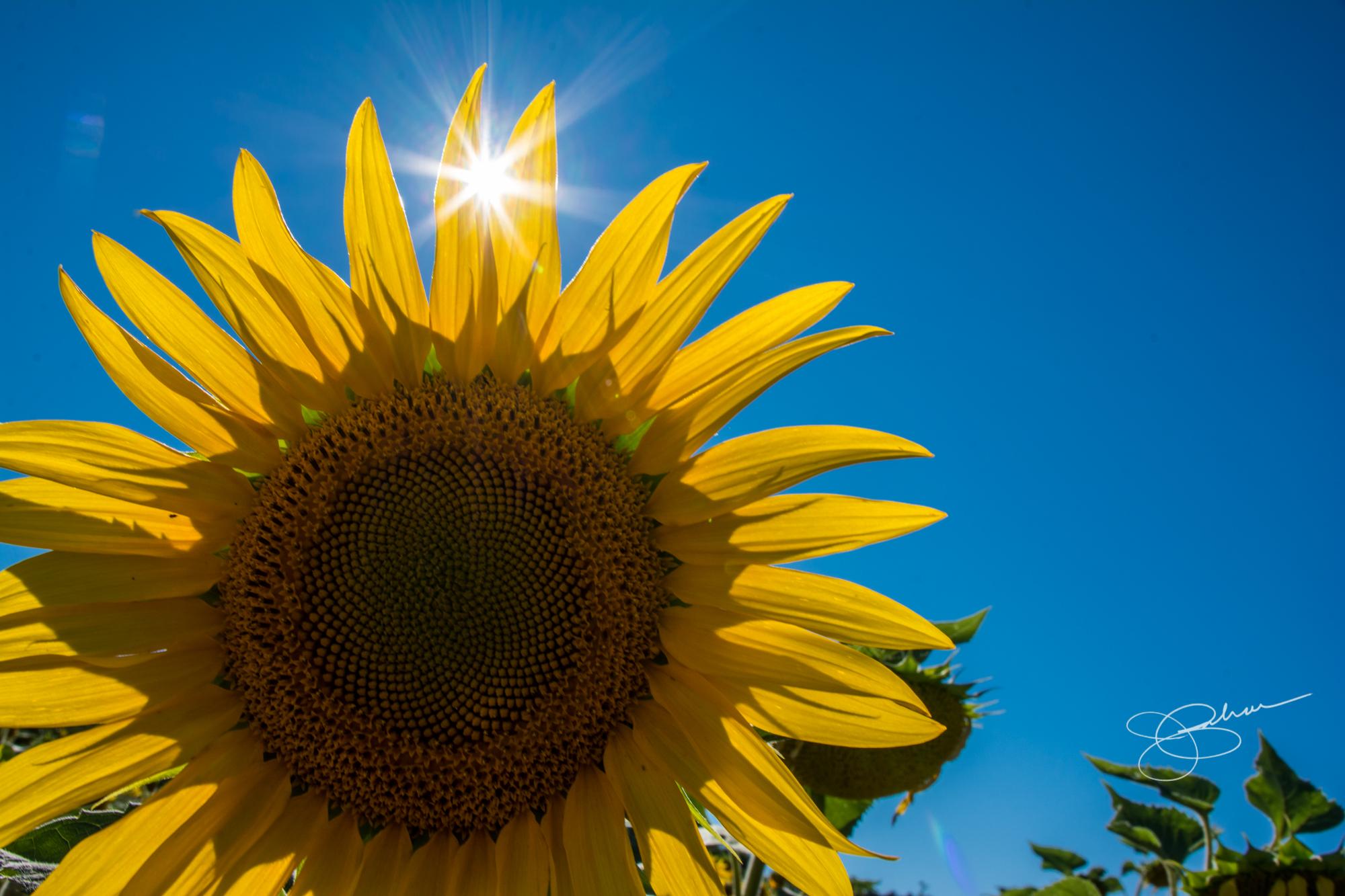 Sunned Flower