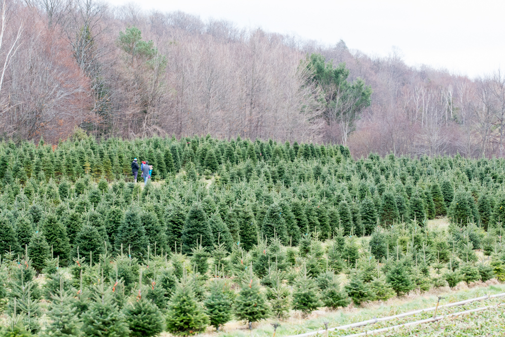 Kolarik Christmas Tree Farm-6211