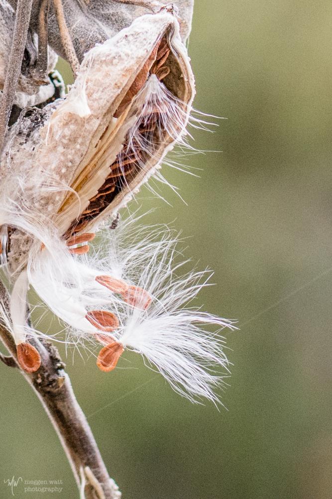 Milkweed Seeds-6194