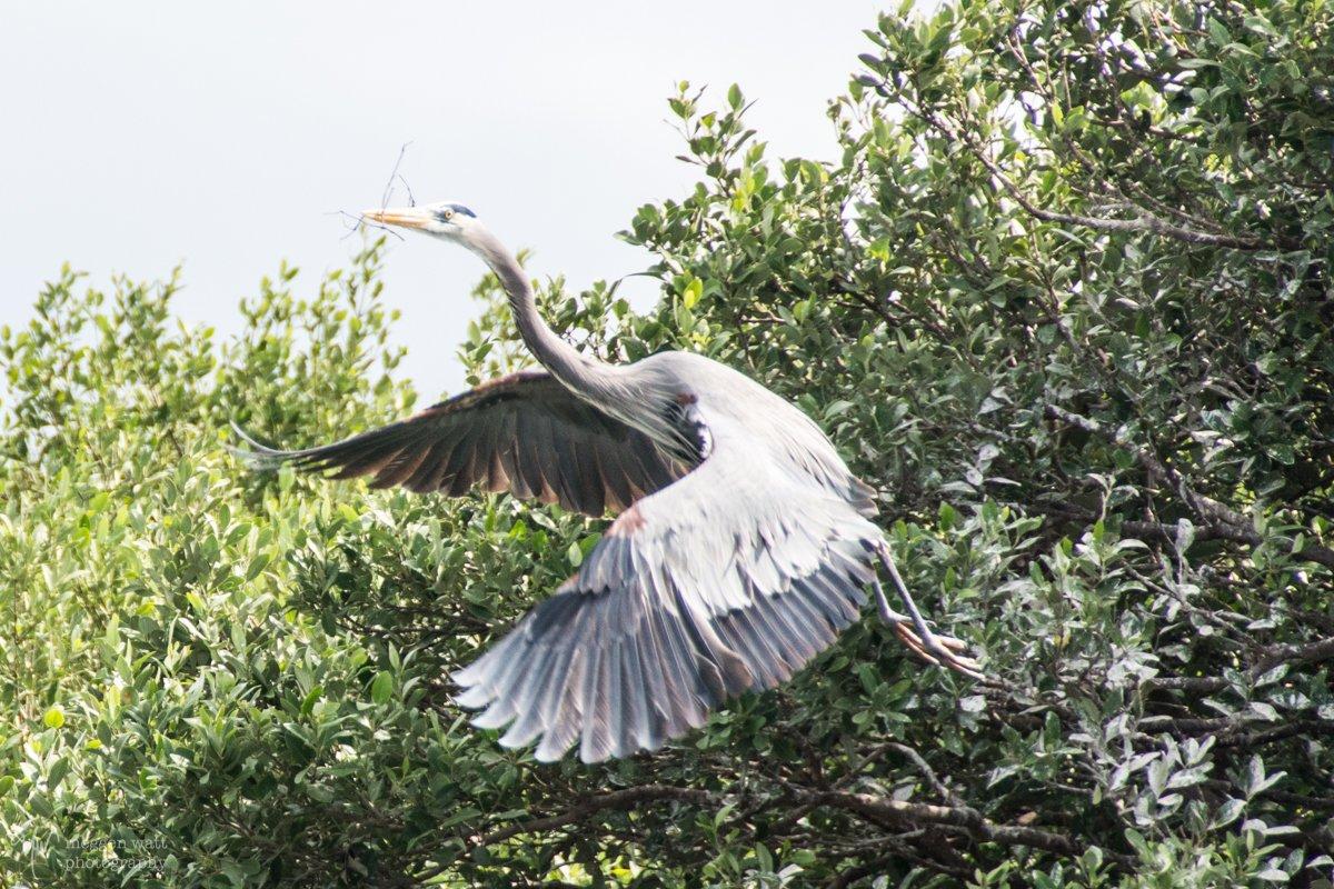 Nesting Heron-0382