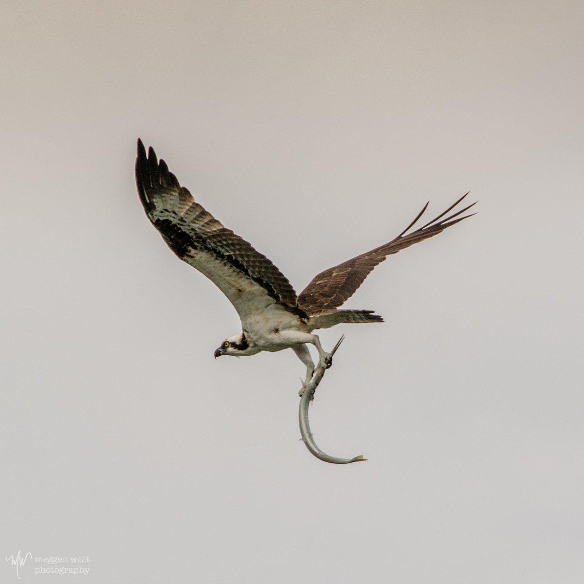 Osprey And Garfish-0437