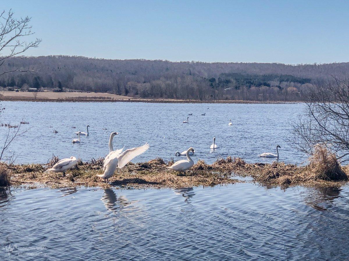 Swans-4223