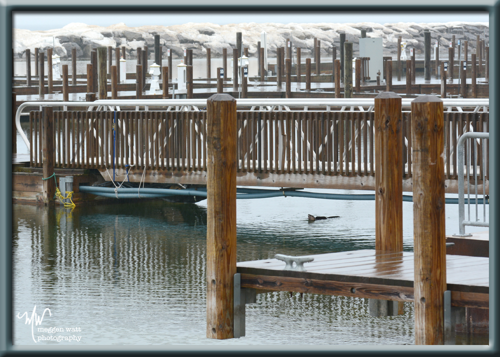 TLR-20160314-otter-by-harbor-dock
