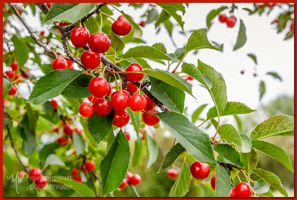 TLR-20160711-cherries-4374