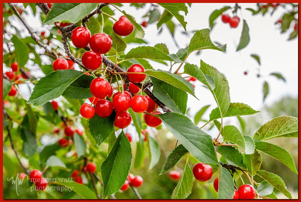 TLR-20160711-cherries-4374