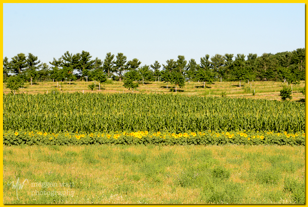 TLR-20160725-sunflowers-3593