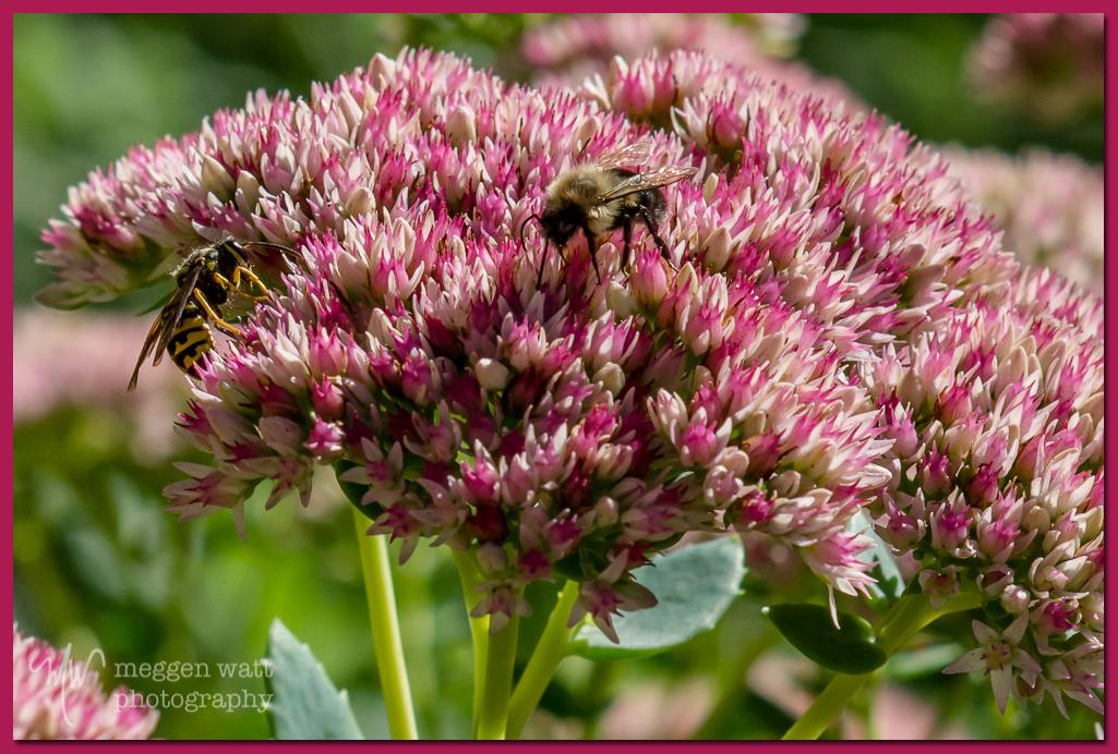 TLR-20160912-Sedum Bees-5171