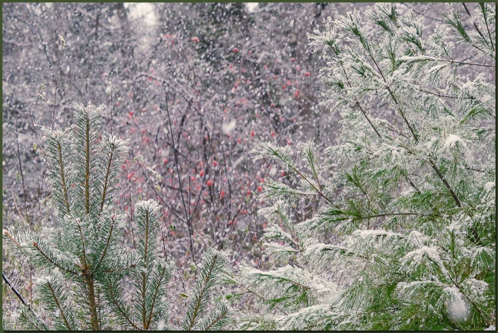 TLR-20161205-Snow On Pines-7013