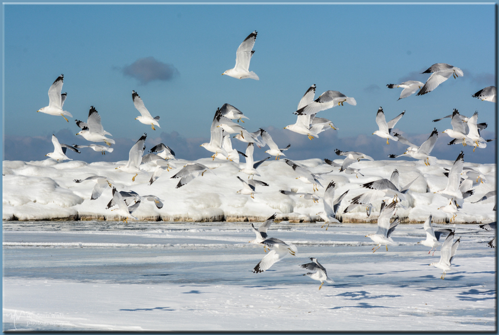 TLR-20170116-gulls On Ice-6248