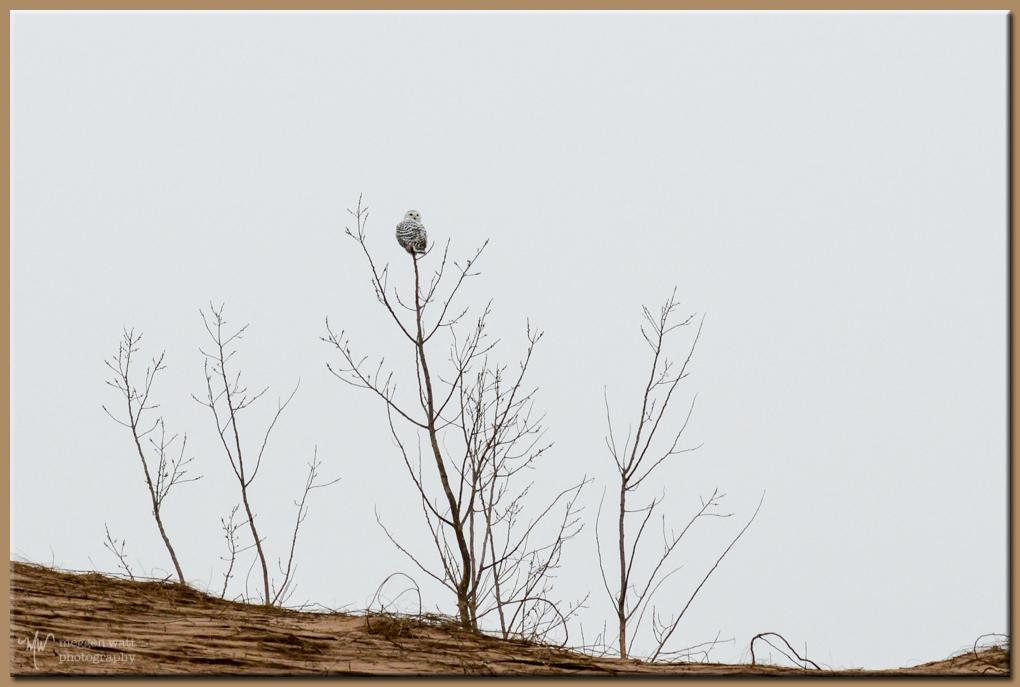 TLR-20170123-sleeping Bear Point Snowy Owl-7864