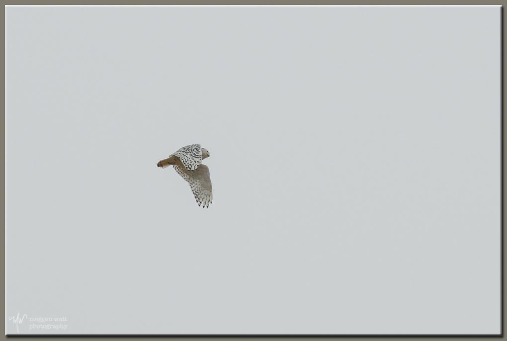 TLR-20170123-sleeping Bear Point Snowy Owl Flight-7896