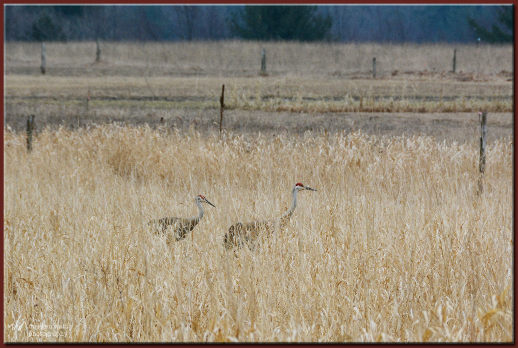 TLR-20170327-Sand Hill Cranes Port Oneida-8266