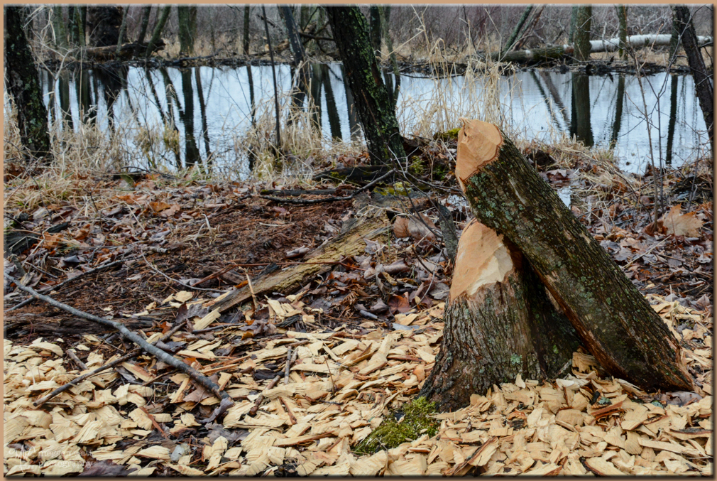 TLR-20170327-beaver Stump-8289