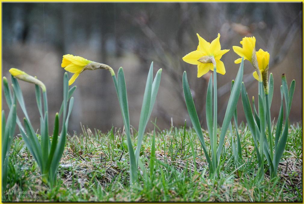 TLR-20170410-daffodils-8532