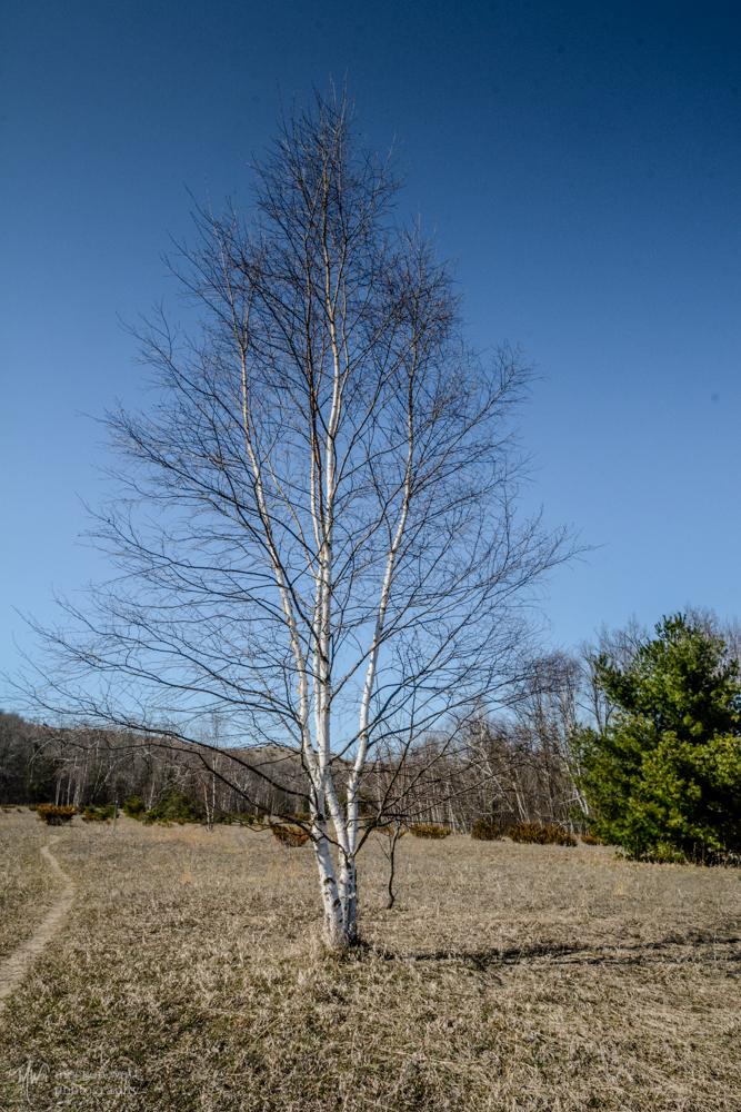 Birch On Meadow Trail - Pyramid-2696
