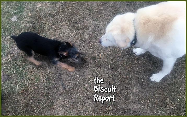 Biscuit11-13-17
