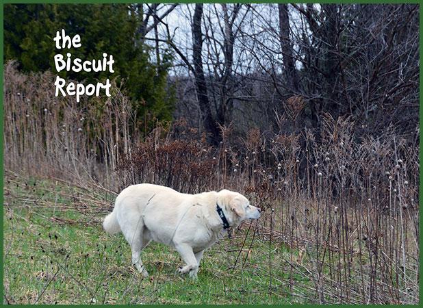 Biscuit4-10-17