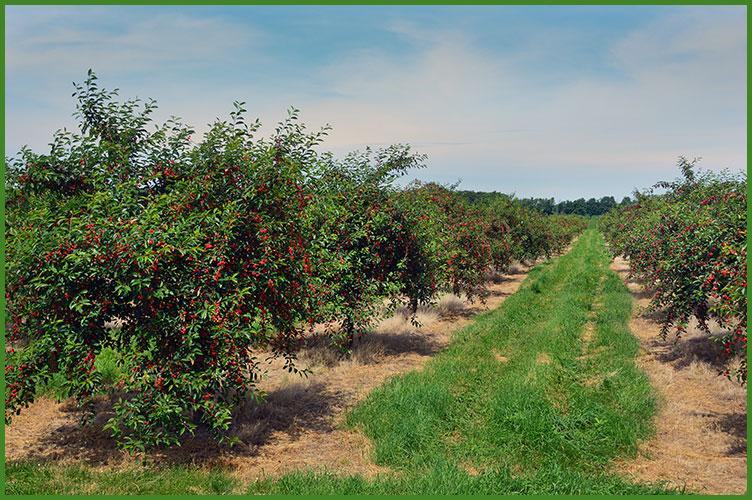 Cherries7-11-17