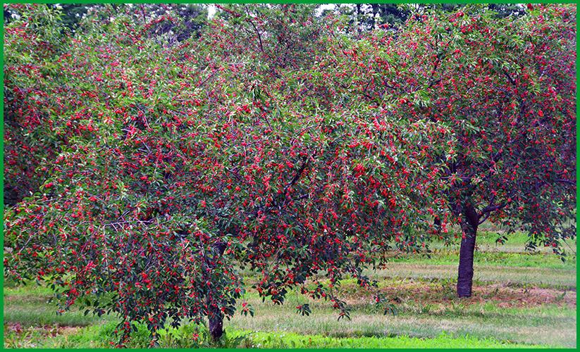 Cherries7-12-16