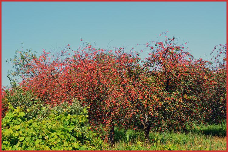 Cherries7-15-17
