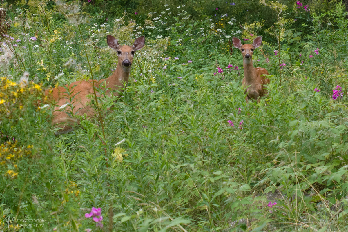 Doe And Fawn-8848