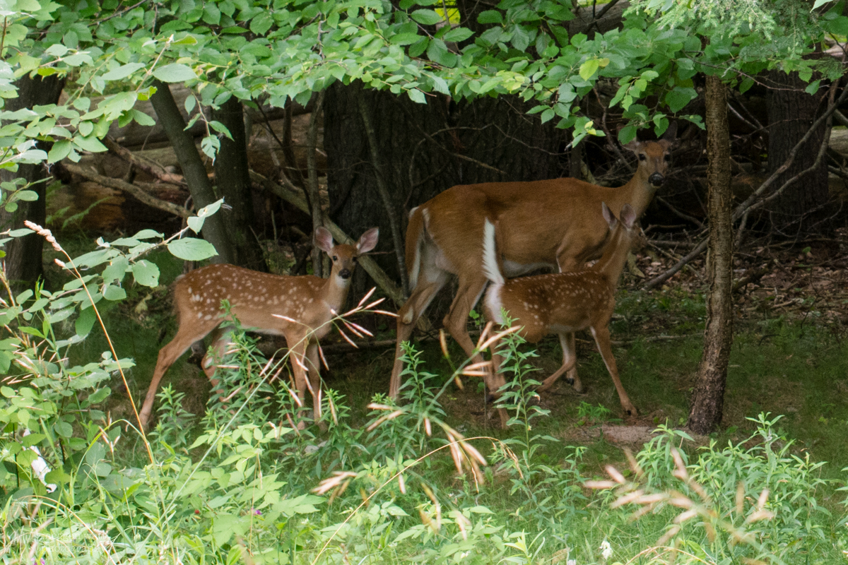 Doe And Fawns-8881