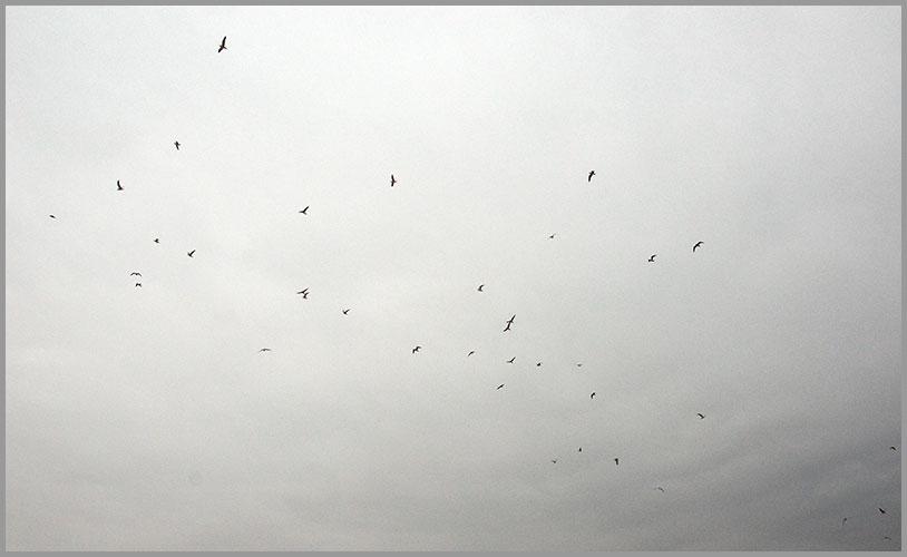 Gulls2-11-17