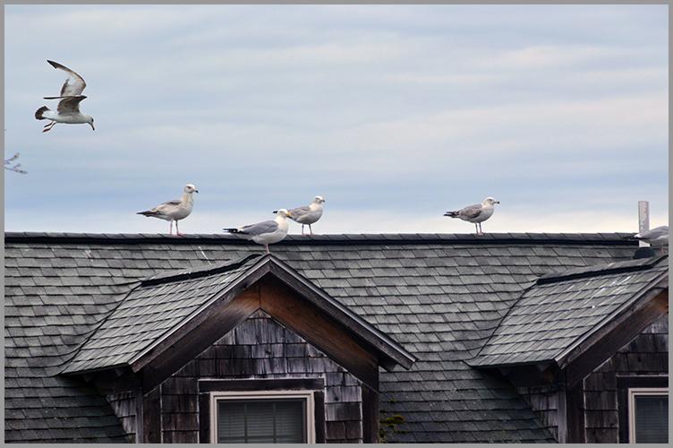Gulls5-4-16