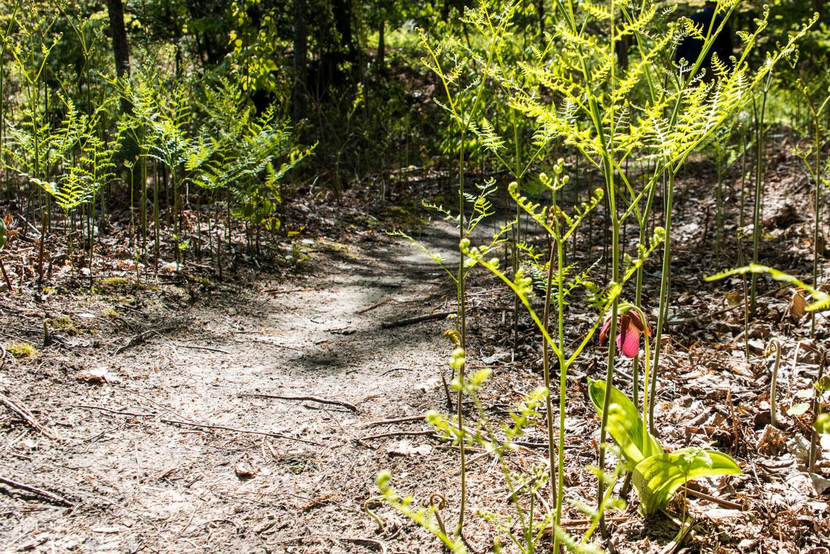 Lady Slipper Along Houdek Dunes Trail-0129
