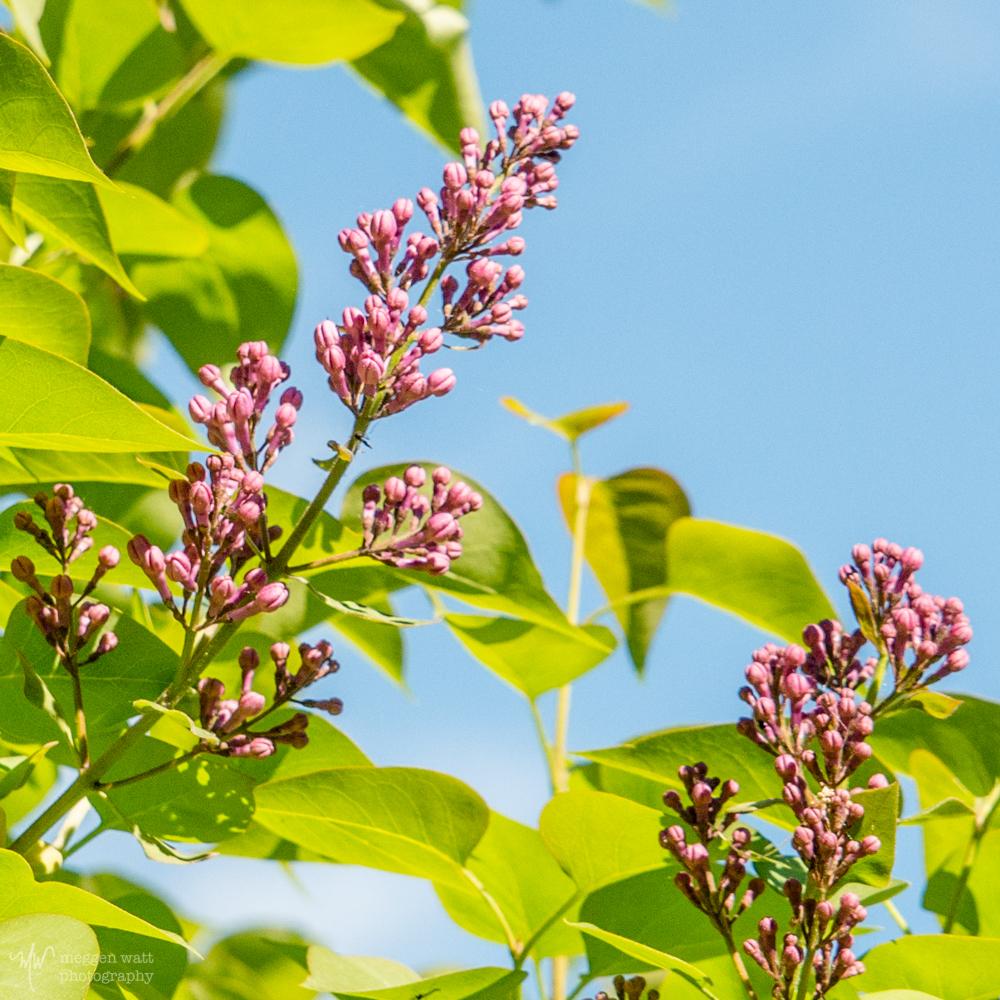 Lilac Buds-0140