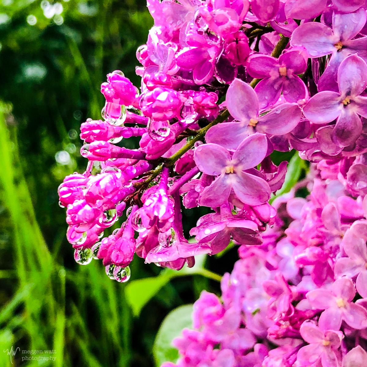 Lilac Rain-7022
