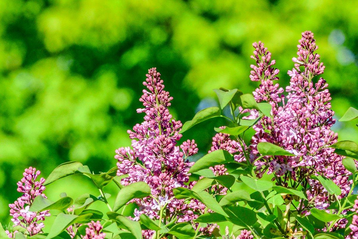 Lilacs-2564