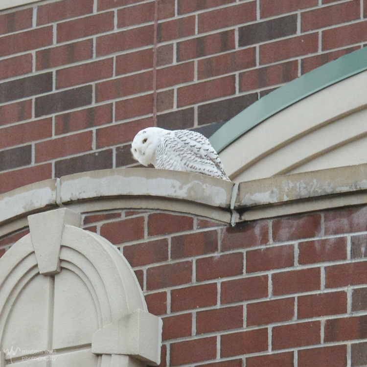 Snowy Owl Front St-5075
