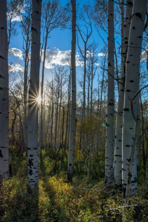 Sunburst in Aspens