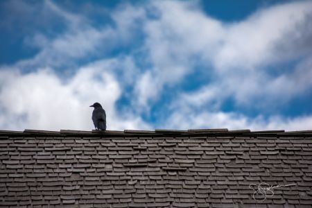 Blackbird on Roof