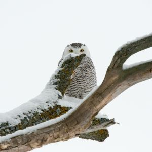 Snowy Owl-5948