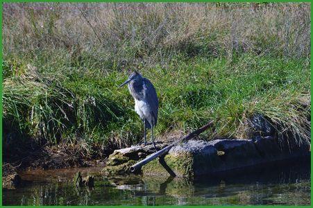 Heron10-16-16