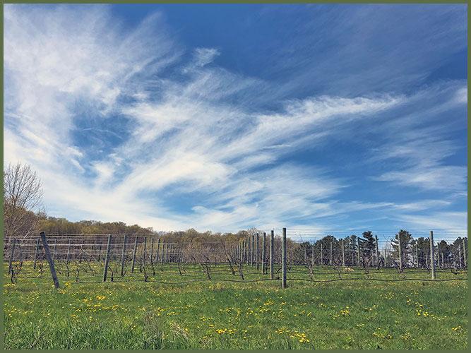 Vineyard5-21-19