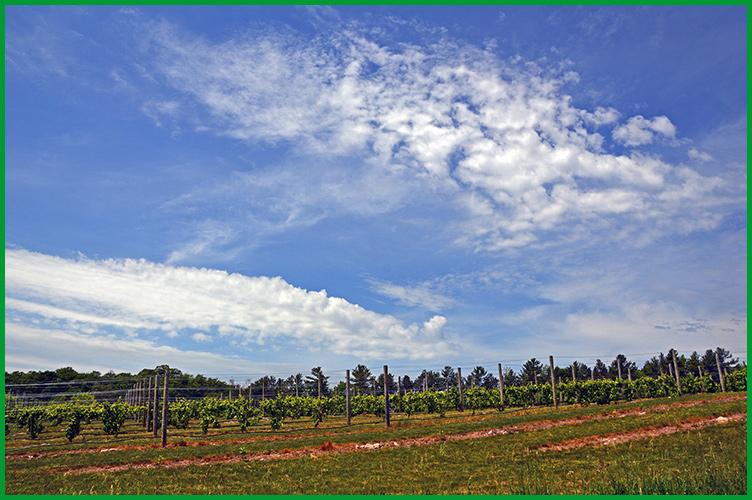 Vineyard6-10-16